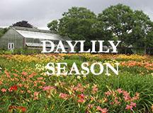 Daylily Season